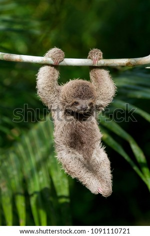 Cute baby Sloth hanging from tree branch