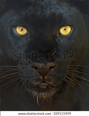 Leopard portrait #109115999
