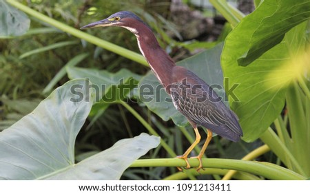 green heron standing on a leaf #1091213411