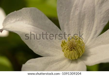 White magnolia details #1091309204