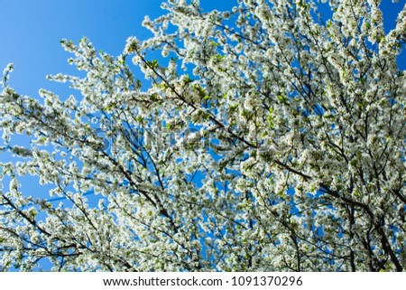 Blooming cherry tree in spring landscape #1091370296