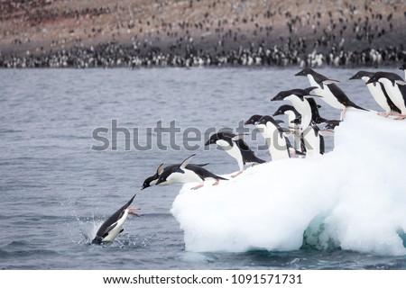 Adelie Penguins jump of an iceberg at Paulet Island, Antarctica.