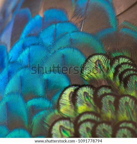 Closeup peacock feathers ,Beautiful Green peafowl #1091778794
