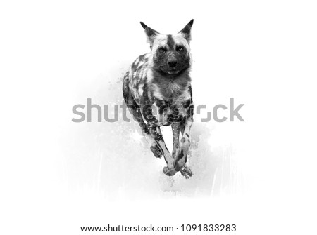 Artistic, black and white photo of African Wild Dog, Lycaon pictus, running in the splashing water directly at camera. African wildlife photography, low angle. Okavango delta, Botswana.