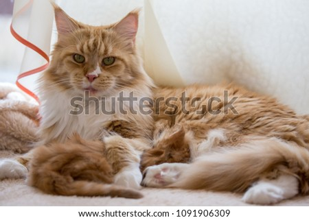 Maine coon cat red mother with baby #1091906309