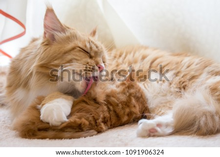 Maine coon cat red mother with baby #1091906324