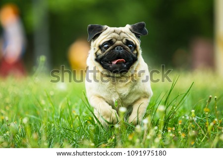 dog, pug, animal, puppy, pet, canine, cute, breed, bulldog, white, isolated, grass, portrait, pets, mammal, purebred, mops, small, sitting, brown, adorable, funny, pedigree, domestic, friend, happy pu