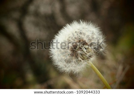 Close-up picture of Dandelion