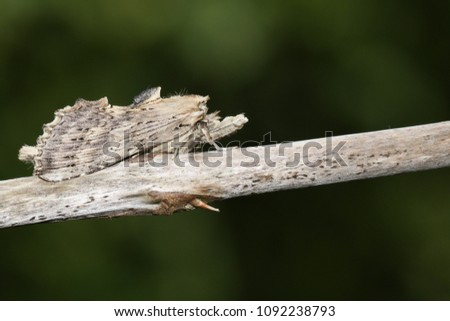 A stunning Pale Prominent (Pterostoma palpina) perched on the stem of a plant. #1092238793