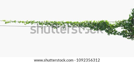 ivy plant isolate on white background #1092356312