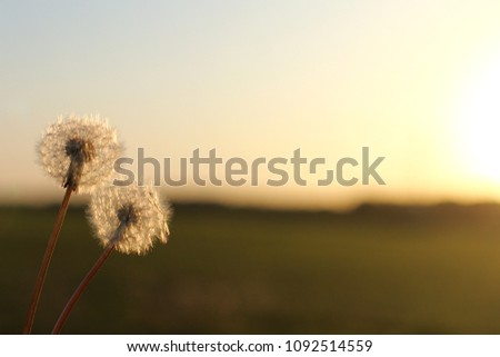 pair of fluffy dandelions against a background of a blurred landscape / together we will meet the sunset