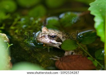Frog in a garden pond #1092534287