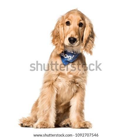 Cocker Spaniel dog , 6 months old, sitting against white background #1092707546