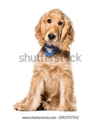 Cocker Spaniel dog , 6 months old, sitting against white background #1092707552