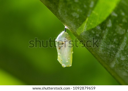 Caterpillar Cocoon Hanging from a Leaf #1092879659