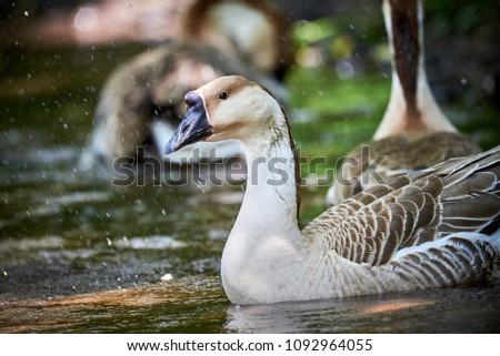 Swan goose (Anser cygnoides)  #1092964055