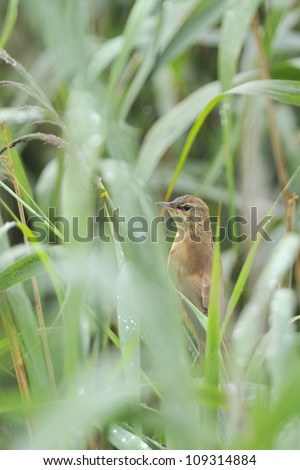 great reed warbler ( Acrocephalus arundinaceus ) in a natural habitat. #109314884