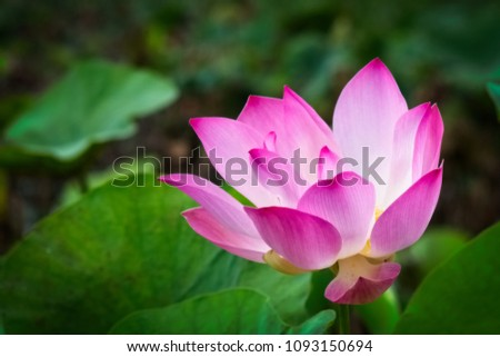 pink lotus flower blooming in pond with blurry background #1093150694