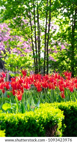 Red tulip flowers and colorful trees in Traditional Istanbul Tulip Festival with green background #1093423976
