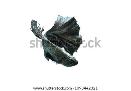 Capture the moving moment of siamese fighting fish isolated on white background. betta fish #1093442321