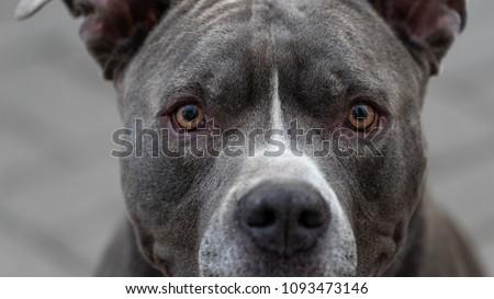 A Pitbull Portrait