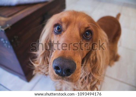 Golden Spaniel Dogs  #1093494176
