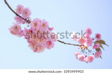 beautiful pink sakura over blue sky #1093499903