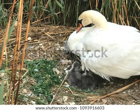 The most beautiful nromanian swan #1093916603