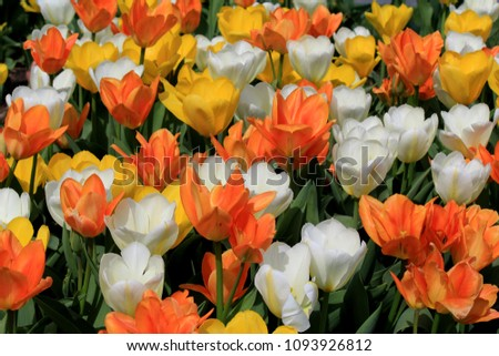 Background image of landscaped garden with bright and colorful tulips greeting people passing by. #1093926812