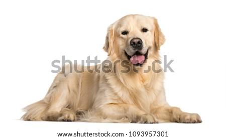 Golden Retriever dog lying  against white background #1093957301
