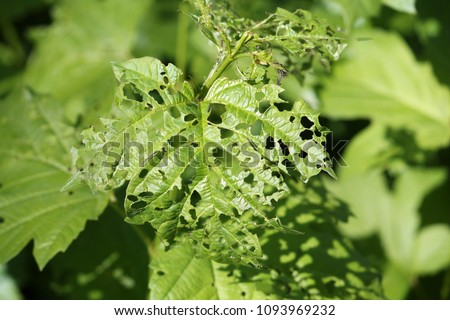 Feeding damage of European cranberrybush (Viburnum opulus) leaves by larvae of viburnum leaf beetle or Pyrrhalta viburni Royalty-Free Stock Photo #1093969232