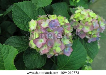A hydrangeas flowering plants in light purple  #1094010773