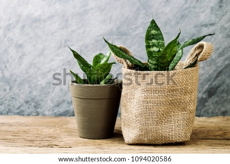 Sansevieria trifasciata or Snake plant in pot on old wood home and garden concept #1094020586