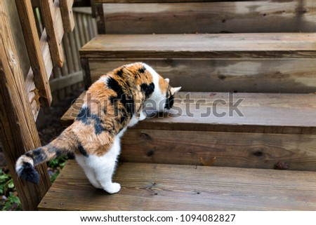 Calico cat curious exploring house backyard by wooden deck, garden, smelling sniffing wet wood scent marking territory #1094082827