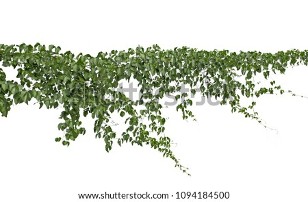 Climbing plants or plant tropical foliage vine,Ivy green hang,beautiful tree abstract texture isolated on white background.Concept or objects nature summer for design and decoration. #1094184500