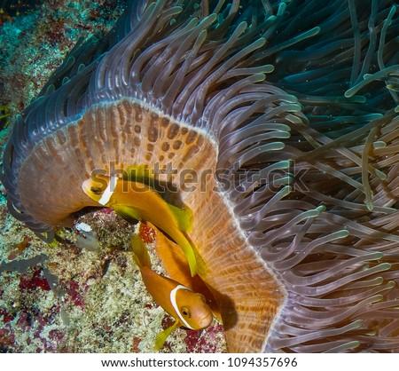 Anemonefish & Anemone Coral #1094357696