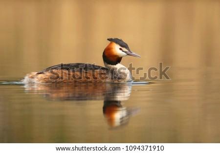 Grebe duck Podiceps cristatus #1094371910