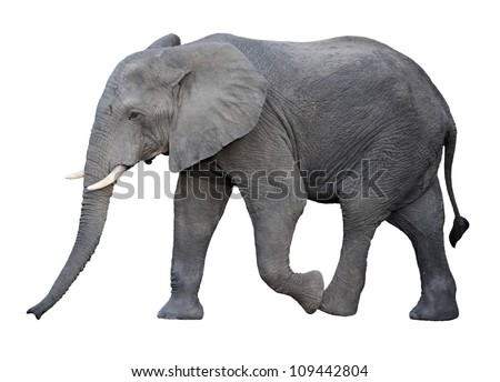 adult african elephant isolated on white Royalty-Free Stock Photo #109442804