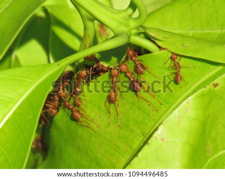 Ants help build their new nest on leaves of the mango. A red ant (fire ant, Solenopsis geminate) unity teamwork.