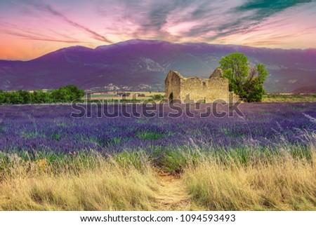 Blooming Lavender fields Valensole plateau, purple blue lavendel fields by old brick house ruin #1094593493