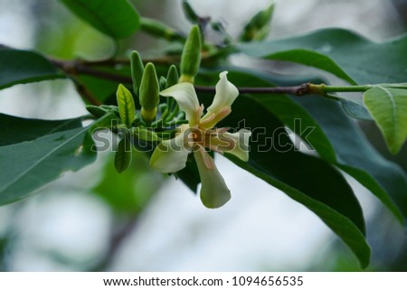 Wrightia arborea (Scientific name : Wrightia arborea (Dennst.) Mabb.) #1094656535