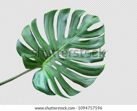 Real monstera leaves on white background.Tropical,botanical nature concepts ideas.flat lay.clipping path Royalty-Free Stock Photo #1094757596