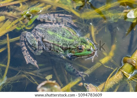 Green frog in the pond, springtime  #1094783609