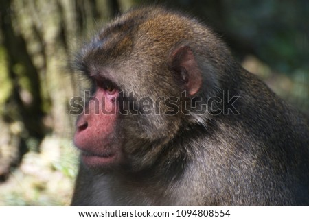 Japanese Macaque in zoo #1094808554