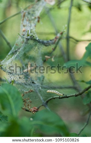 Cocoon and colony destructive caterpillar on tree branch. #1095103826