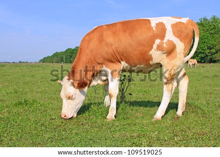 The calf on a summer pasture #109519025
