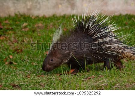 Malayan porcupine, Himalayan porcupine, Large porcupine