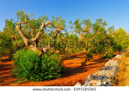 Ancient olive trees of Salento, Apulia, southern Italy #1095585065