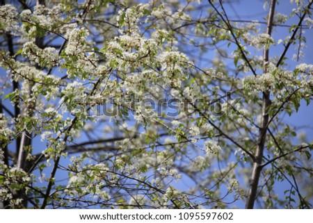 Wild Service Berry Blossom #1095597602