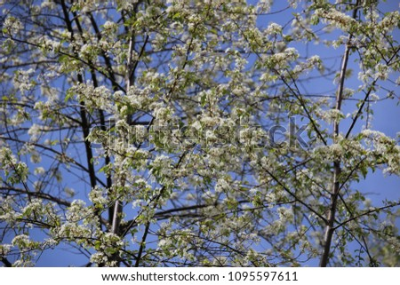 Wild Service Berry Blossom #1095597611